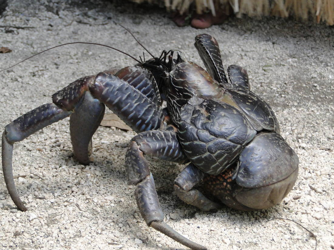 Crabul Nuca de cocos